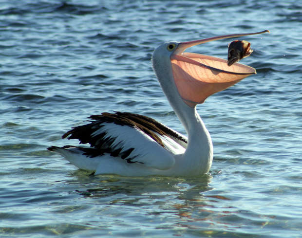 Pelican's Catch